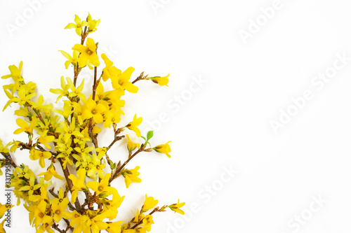 Fotografie, Obraz Forsythia branches covered with yellow flowers