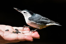 Bird In The Hand - White-breas...