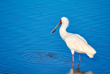 Spoonbill Drinking Water In A ...