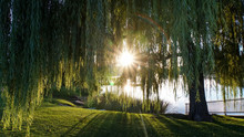 Sunbursts Through Willow