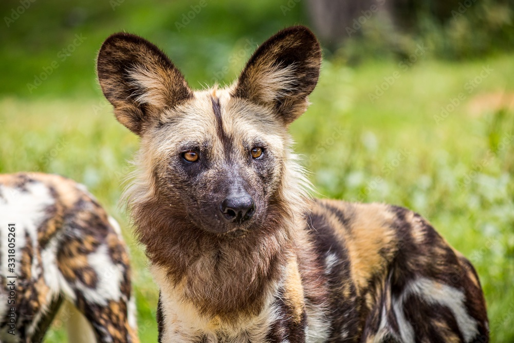 Fototapeta Selective focus closeup shot of a spotted wild African dog in a green grassy field