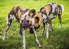 Closeup Of Two African Wild Dogs Standing On A Grassy Ground With One Of Them Growling