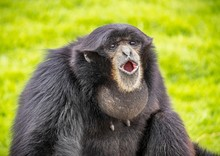 Black Monkey With An Open Mouth On The Grass