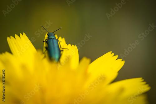 Photo Psilothrix viridicoerulea es una especie de escarabajos de flores de alas suaves que pertenecen a la familia Melyridae, subfamilia Dasytinae