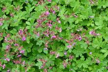 Rock Cranes-Bill, Hardy Geranium, Wild Geranium 'Czakor' (Geranium Macrorrhizum)