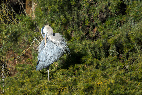 Photo Great blue heron preens itself