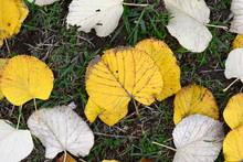 Fallen Autumn Leaves. Autumn Approach, Season Change Concept. Yellow Leaves.