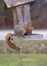 Red Fox Squirrel In A Bird Fee...