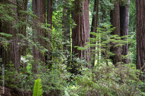 Redwood Forest in Rural Northern California, USA