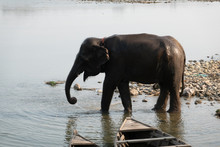 An Elephant Cooling Off In The River