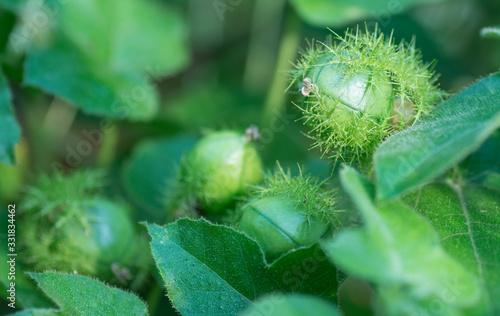 wild passiflora foetida plant Canvas Print