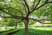 Camphor Tree In The Park