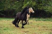 Dales Pony Und Norweger Fjord