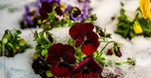 Photo Tricolor viola flowers in a garden