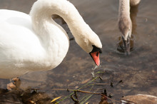 White Adult Swan Floats On The...