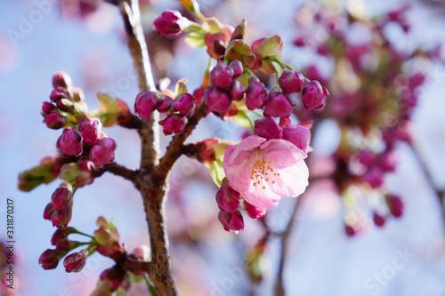 桜の開花 Canvas Print