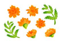 Set Of Orange Marigold Blooms ...