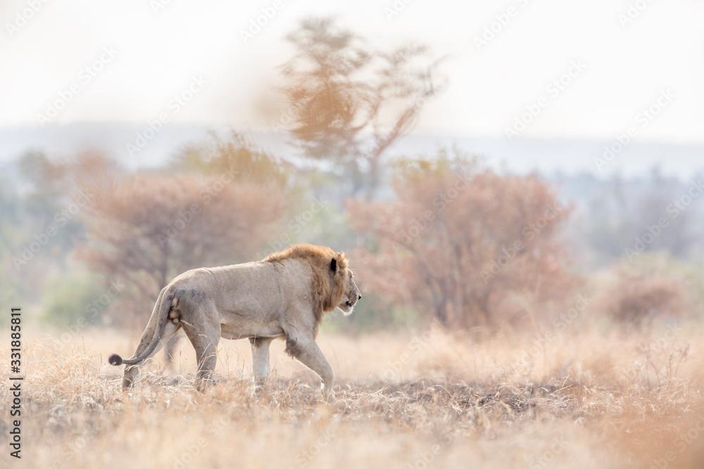 Fototapeta African lion in Kruger National park, South Africa