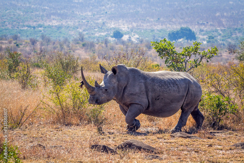 Southern white rhinoceros in Kruger National park, South Africa Wallpaper Mural