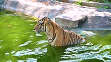 The Tiger Is Playing Water Soa...
