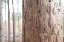 Barkbeetle Tree Kurovec Borken...