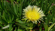 Ice Plant Yellow Flower With S...
