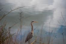 Heron In Grass Near Water