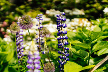White And Blue Tall Lupine Or Lupinus Flowers During Spring Blossom With Selective Focus And Blurred Background