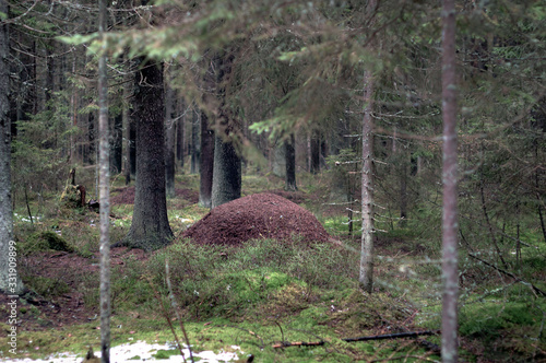 Large anthill in the forest, dark spruce and moss-covered land Wallpaper Mural