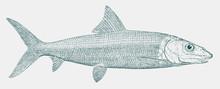 Bonefish, Albula Vulpes, A Mar...