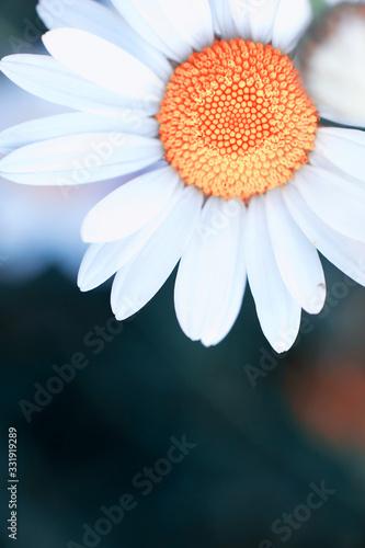 Obraz Wild flower. Little flowers on a green meadow. - fototapety do salonu