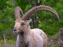 Closeup Male Alpine Ibex (Capr...
