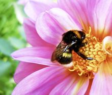 Bumblebee Pollinating Flower, ...