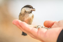 Wild Chickadee Birds Eat Out O...