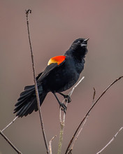Red Winged Black Bird On A Branch