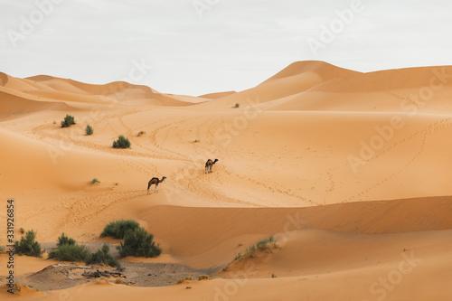 Two camel walking in Sahara desert, Morocco Wallpaper Mural