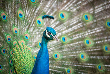 Indian Peacock Displaying Its ...