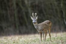 Roe Deer With Growing Antlers ...