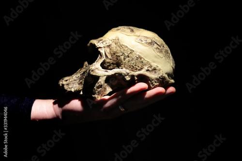 Photo Model of human ancestor skull (Australopithecus africanus) on a hand