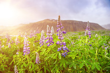 Blooming Lupins In Iceland
