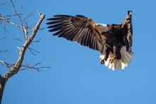 An American Bald Eagle Prepare...