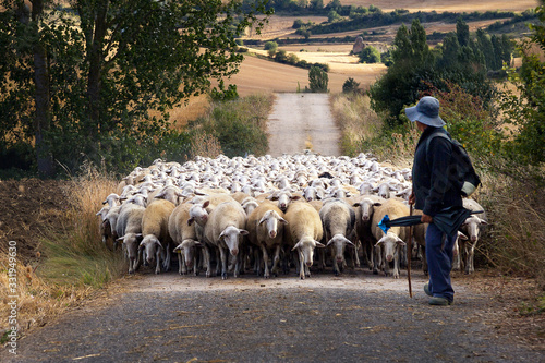 Obraz na plátne A Shepherd and his flock of sheep walking down the path in Navarra, Northern Spa