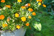 Closeup Shot Of A Patch Of Marigold Flowers Blooming In A Metal Pot In The Garden