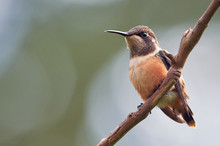 Tiny Hummingbird Perched On A ...