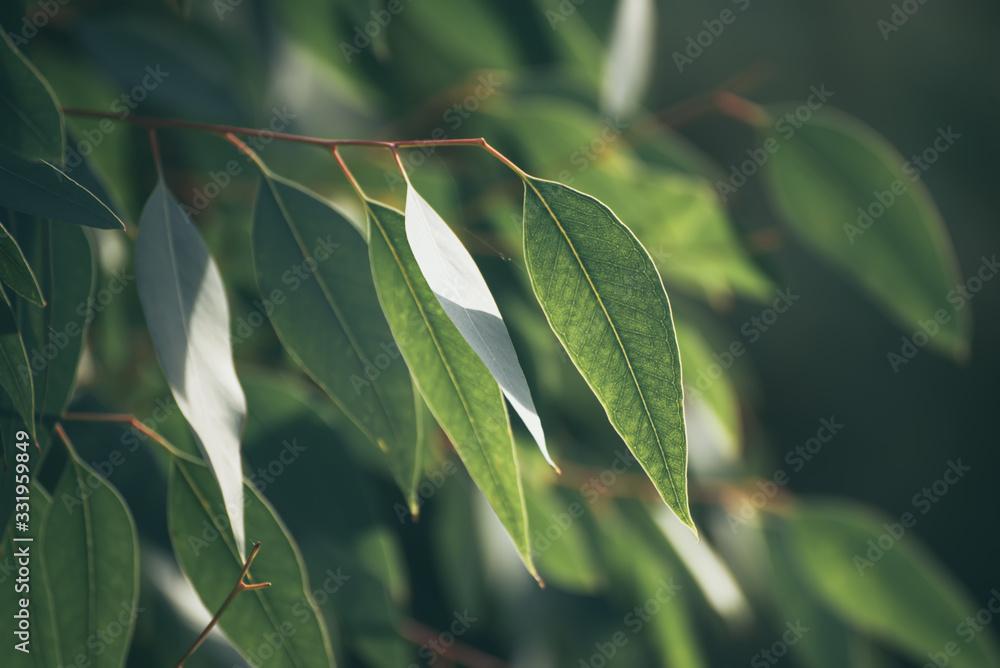 Fototapeta Eucalyptus green leaves