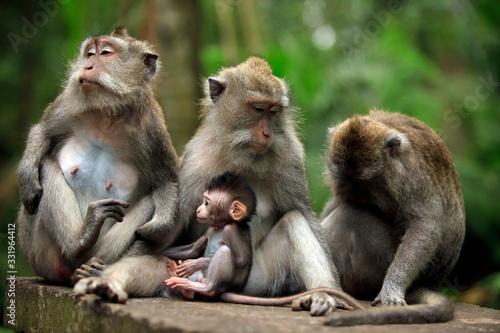 Family of monkeys. Bali a zoo. Indonesia Canvas Print