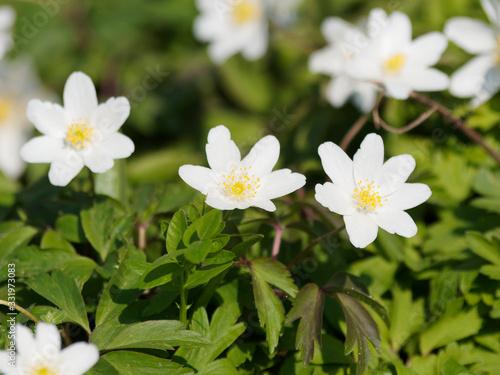 Fotografía Anemone nemorosa   Anémone sylvie ou Anémone des bois aux tépales blanc