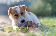 Portrait Of A Jack Russell Ter...
