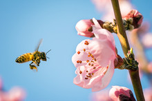Honey Bee Collecting Nectar From Flower With Pollen In Springtime, Macro