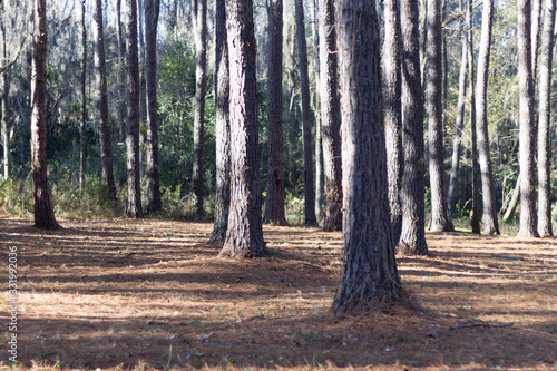 Forest with trees in Newberry, Florida.